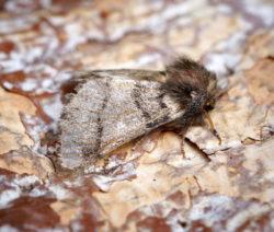 Eichenprozessionsspinner Motte Schmetterling 2