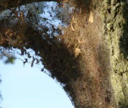 Eichenprozessionsspinner Nest Raupe Schmetterling