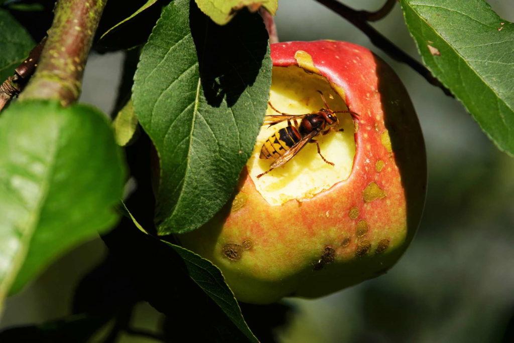 Hornisse am Apfel