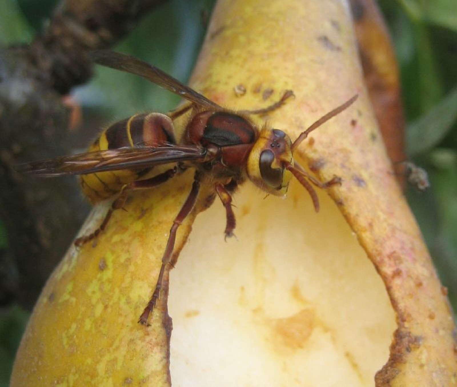 hornissen vertreiben