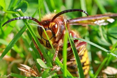 Hornissen: erkennen, vertreiben und bekämpfen?