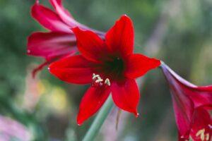 Amaryllis Mit Roter Blüte
