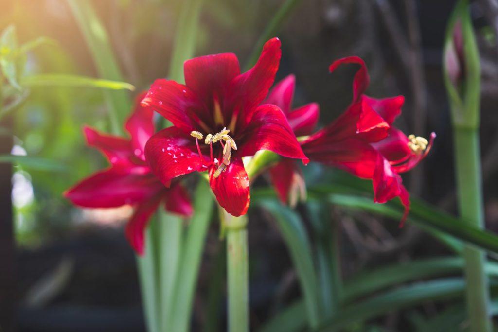 Blühende rote Amaryllis