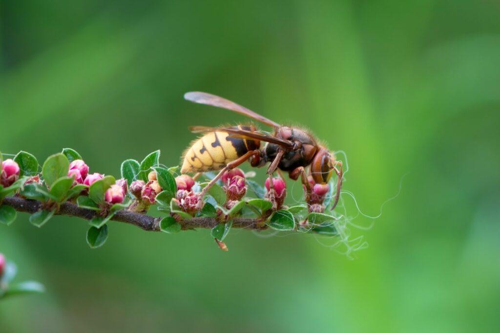 Hornisse auf Pflanze