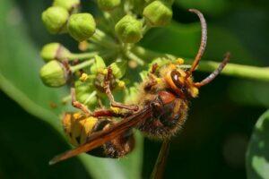 Hornisse An Einer Blüte