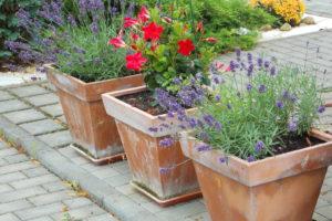 Lavendel In Töpfen Aus Ton Auf Terrasse