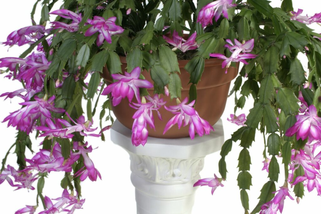 violetter Weihnachtskaktus