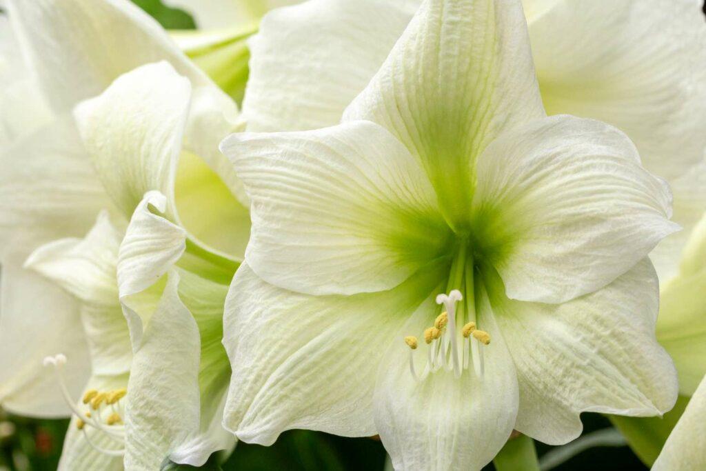 Weiße Amaryllis-Blüte