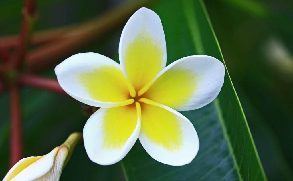 Frangipani Blüte gelb weiß