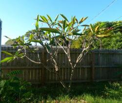 Frangipani Verliert Blätter Im Winter
