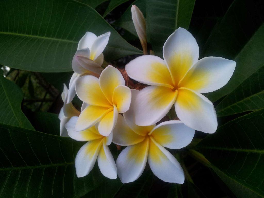 Frangipani Blüte weiß 2