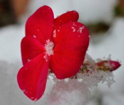 Geranie Blüte Rot Im Schnee