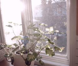 Geranien Auf Fensterbank