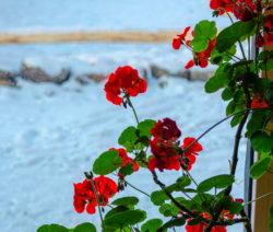 Geranien Auf Fensterbrett Im Winter