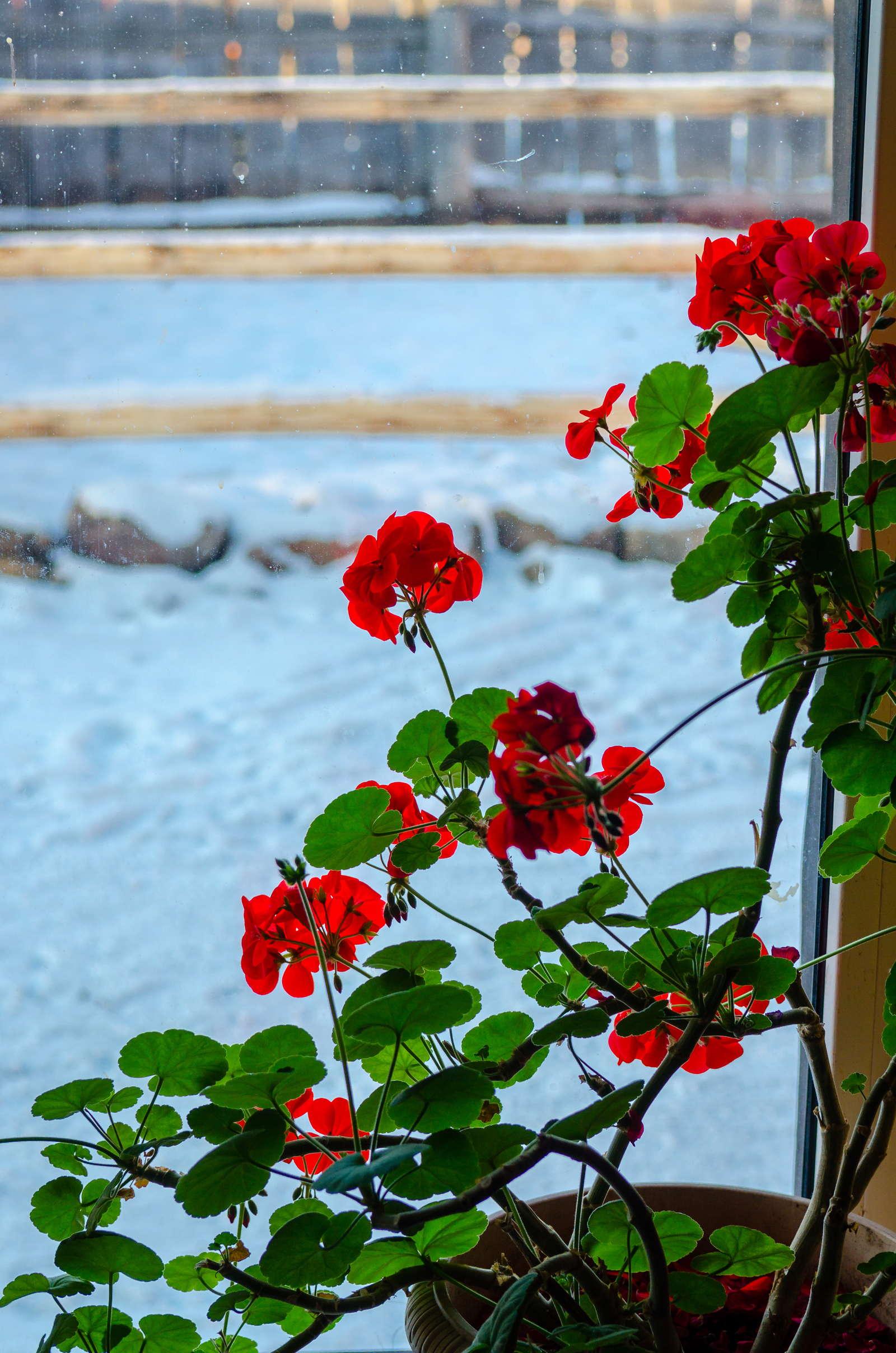 geranien treiben im winter aus