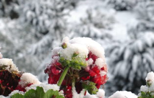 Geranien Im Schnee