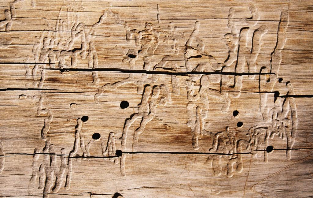 Holz Brett Holzwurmbefall