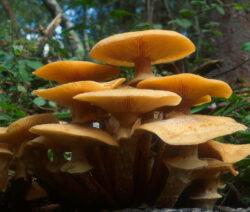 Honiggelber Hallimasch (Armillaria Mellea) 4