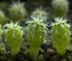 Kaktus Stecklinge