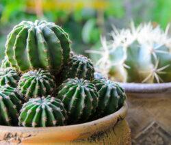 Kaktus Mit Ablegern 2