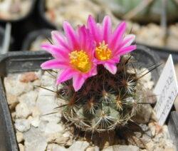 Kaktus Mit Rosa Blüten 2