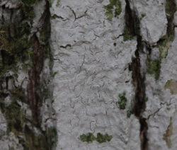 Kalkanstrich Auf Baum Weiße Rinde