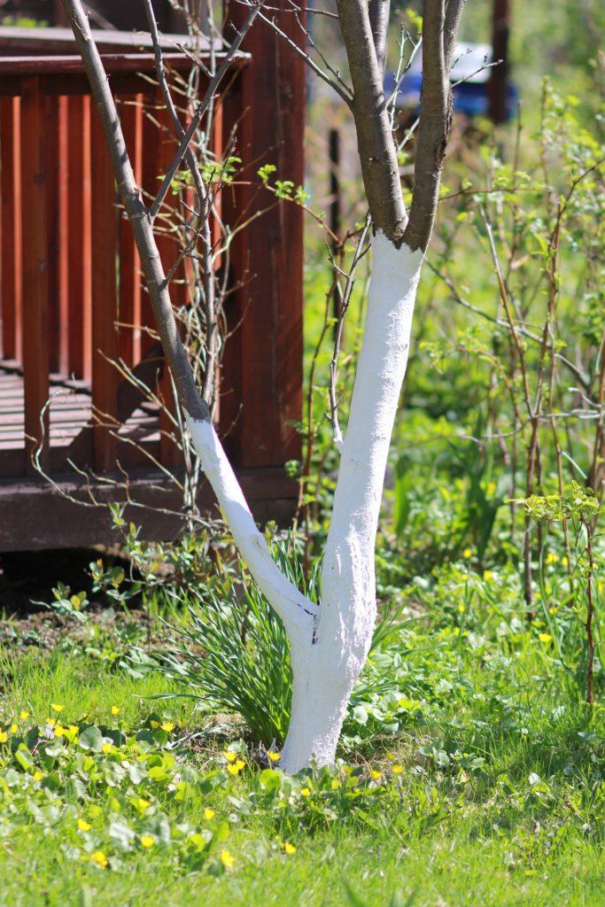 Kalkanstrich junger Baum weiße Farbe