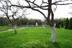 Kalkanstrich Obstbaum