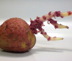 Kartoffel Austrieb 2