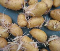 Kartoffel Austrieb 3