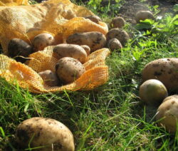 Kartoffelernte 5