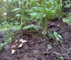 Kartoffeln Anhäufeln 4