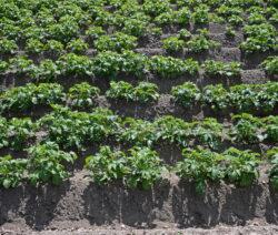 Kartoffeln Im Feld
