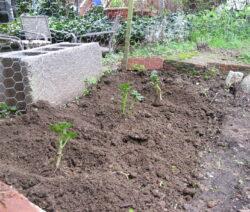 Kartoffeln Im Garten
