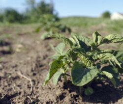 Kartoffelpflanze Auf Feld