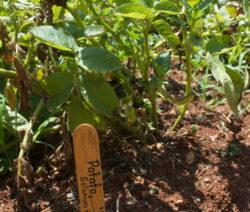 Kartoffelpflanze Im Garten