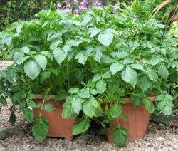 Kartoffelpflanze Im Topf 2
