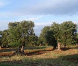 Olivenbäume Im Freien