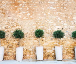 Olivenbäume An Hauswand