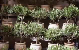 Olivenbäume In Töpfen