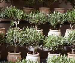 Olivenbäume In Töpfen 3