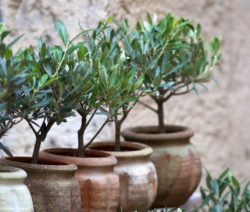 Olivenbäume In Töpfen 4