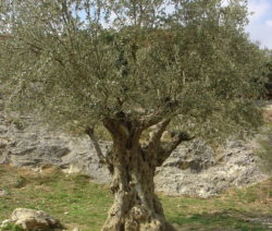 Alter Olivenbaum Vor Hügel Trockener Boden