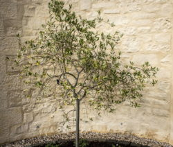 Olivenbaum An Hauswand Aus Stein