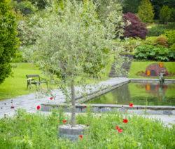 Olivenbaum Im Garten Mit Teich