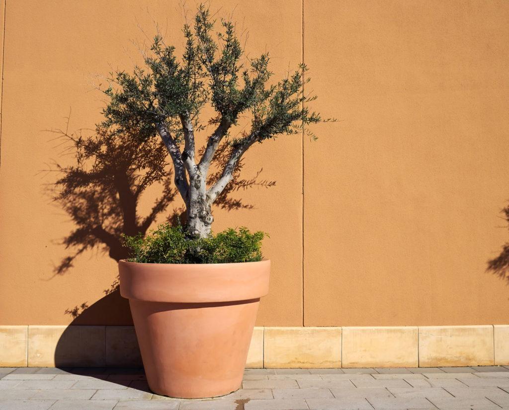 Olivenbaum in Tontopf