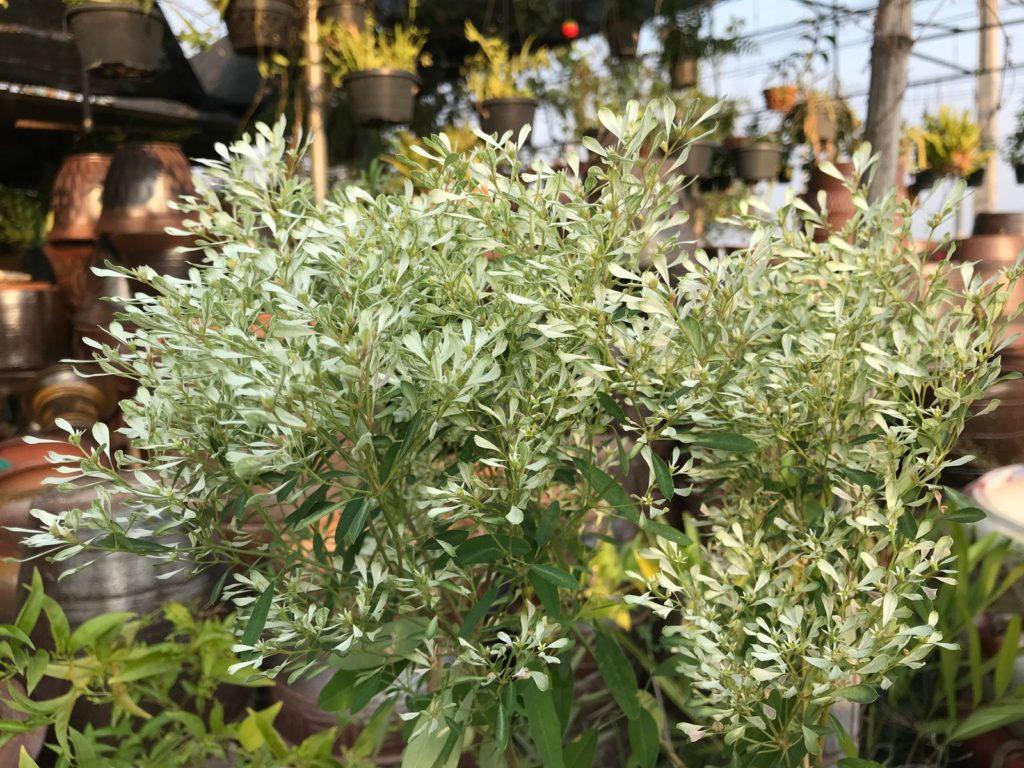 Olivenbaum vor Töpfen