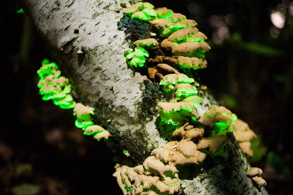 Panellus Stipticus leuchtender Pilz