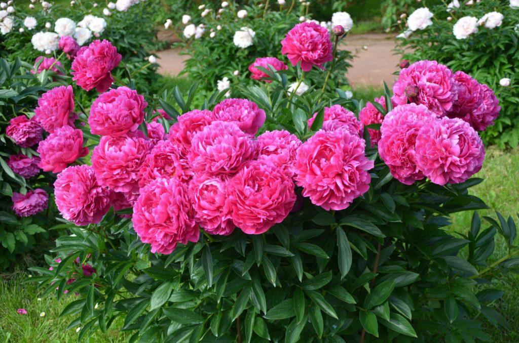 Pinke Pfingstrose im Garten