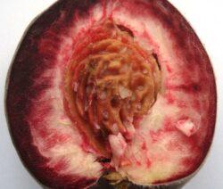 Prunus_persica_-_Weinbergpfirsich_-_half_fruit